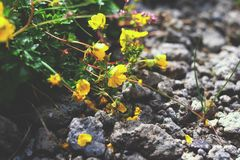 Yellow flowers on the rocks Stock Images