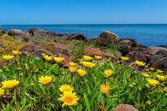 Yellow flowers, rocks and ocean Royalty Free Stock Images