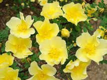 Yellow flowers of the Rosa Hugonis. One of the grand spring flowers Stock Photo
