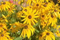 Yellow flowers of rudbeckia. In the garden Royalty Free Stock Photo