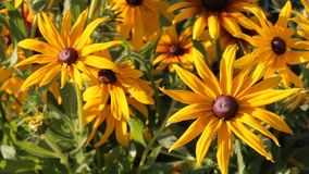 Yellow flowers Rudbeckia in the garden swaying from the light wind, summer sunny day. stock footage