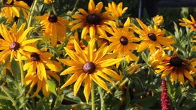Yellow flowers Rudbeckia in the garden swaying from the light wind, summer sunny day stock footage