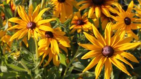 Yellow flowers Rudbeckia in the garden swaying from the light wind, summer sunny day stock video