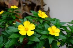 Yellow flowers of Sage rose West India holly, Yellow alder,Tur stock photo