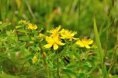 Yellow flowers of Saint-John's-wort Royalty Free Stock Images