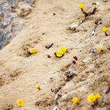 Yellow Flowers in Sand Royalty Free Stock Photo