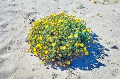 Yellow Flowers on Sand. Close-up of yellow flowers. Photo taken on the terrain of Los Ajaches in the Province of Las Palmas in Spain royalty free stock images