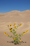 Yellow Flowers And Sand Dunes Royalty Free Stock Photos