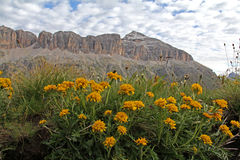 Yellow flowers (senecio incanus) and rocks Royalty Free Stock Photography