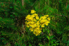 Yellow flowers in the shape of heart Golden Ragwort. Beautiful magic yellow flowers in the shape of heart Golden Ragwort Symbol of Valentine`s day, expressions Stock Photos