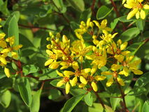 Yellow flowers of shrub. Used as hedge. These are five petal flowers in clusters Stock Image