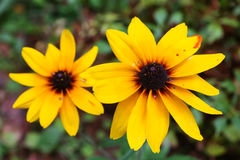 Yellow flowers similar to daisies grow. In the garden royalty free stock photo