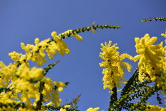 Yellow flowers, sky Royalty Free Stock Photography