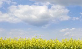 Yellow flowers on sky background. Landscape with yellow flowers on bright sky background Royalty Free Stock Photography