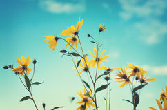 Yellow flowers on sky background. Bright yellow flowers on long stems on a blue sky background Stock Photos