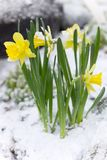 Yellow flowers in the snow Royalty Free Stock Photos