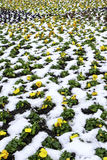 Yellow flowers in snow. Many yellow flowers in snow Royalty Free Stock Images