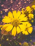 Yellow flowers with soft tones cool blurred backdrop stock photo