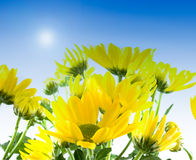 Yellow flowers in spring Royalty Free Stock Images