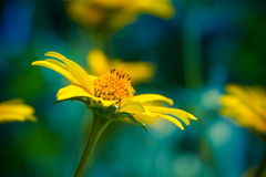 Yellow flowers. Spring background with beautiful yellow flowers Royalty Free Stock Image
