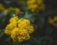 Yellow flowers in spring bloom visited by a bee. Yellow flowers spring bloom visited bee stock image