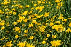Yellow flowers in spring blooming meadow Royalty Free Stock Photo