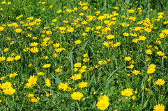 Yellow flowers in spring blooming meadow Stock Photos