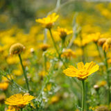 Yellow flowers in spring blooming meadow Stock Image