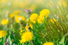 Yellow flowers in spring - dandelion flowers Royalty Free Stock Photography