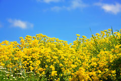 Yellow flowers on spring field Royalty Free Stock Image