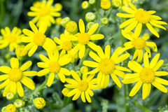 Yellow flowers of spring groundsel, close up Royalty Free Stock Image