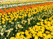 Yellow flowers in spring in Keukenhof Park, Holland Royalty Free Stock Photography