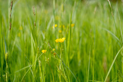 Yellow flowers in the spring meadow Stock Photo