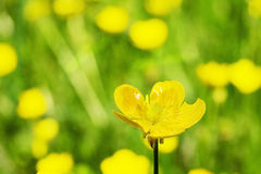 Yellow flowers on a spring meadow Stock Photos