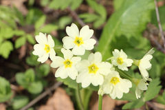 Yellow flowers of a spring primrose Royalty Free Stock Image
