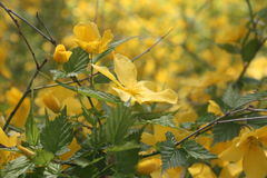 Yellow flowers in the springtime. Stock Photo