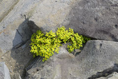 Yellow flowers sprouting in the spring among stones, close-up Royalty Free Stock Photography