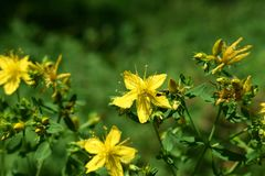 Yellow flowers of St John`s-wort - Hypericum perforatum Royalty Free Stock Images