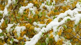 Yellow flowers freeze under the snow. Yellow flowers, on only started to blossom tree, freeze under snow during a snowfall stock video
