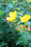 Yellow flowers and stems with some blossoms Royalty Free Stock Photos