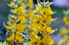 Yellow flowers on stems with variegated leaves Stock Photos