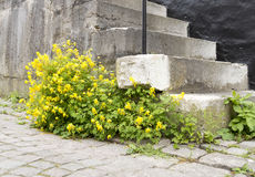 Yellow Flowers by Stone Steps Royalty Free Stock Photography