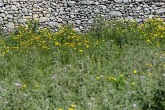 Yellow flowers and stone wall Royalty Free Stock Images