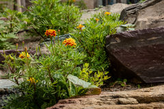 Yellow flowers and stones. A bouquet yellow flowers blooming besides stones and rocks Stock Photos