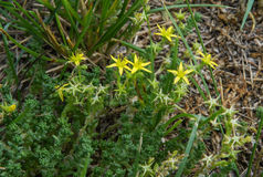 Yellow flowers on succulent plant Royalty Free Stock Photos