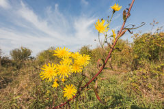 Yellow flowers at summer Meadow - russian rural landscape. Wide angle Stock Photography