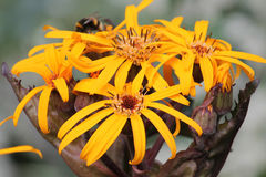 Yellow flowers of summer ragwort or leopardplant or Ligularia dentata Stock Photography