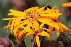 Yellow flowers of summer ragwort or leopardplant or Ligularia dentata Royalty Free Stock Photography