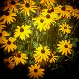 Yellow flowers in summer time. Holga camera image of yellow flowers daisy in the summer time Stock Photos