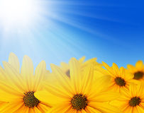 Yellow flowers in sun Stock Images
